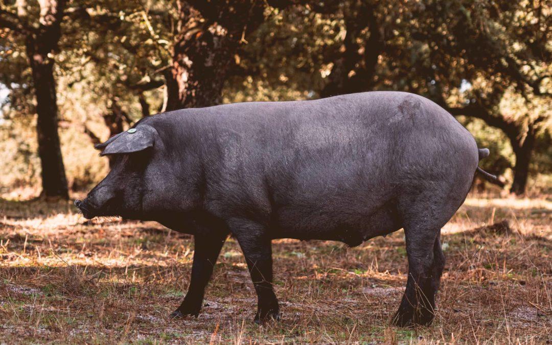 Diferencias entre el cerdo ibérico y el cerdo serrano